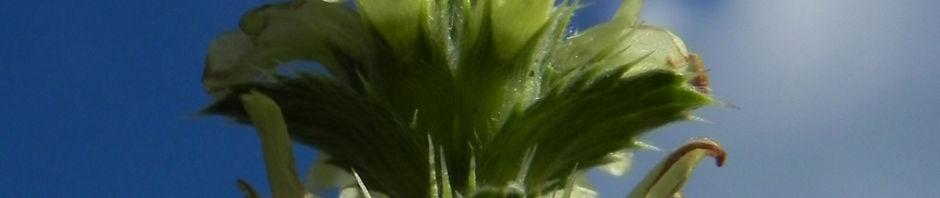 Anklicken um das ganze Bild zu sehen Ruten Resede Blüte hellgelb Reseda complicata