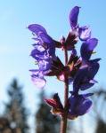 Rutenfoermiger Salbei Bluete lila Salvia virgata 02