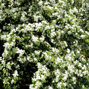 Sachalin Apfel Baum Bluete weiss Malus sachalinensis 02