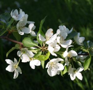 Sachalin Apfel Baum Bluete weiss Malus sachalinensis 03