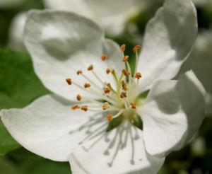 Sachalin Apfel Baum Bluete weiss Malus sachalinensis 04
