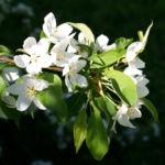 Sachalin Apfel Baum Bluete weiss Malus sachalinensis 05