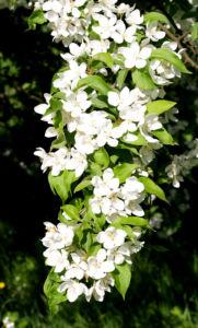 Sachalin Apfel Baum Bluete weiss Malus sachalinensis 06