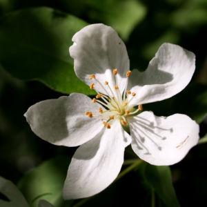 Sachalin Apfel Baum Bluete weiss Malus sachalinensis 07