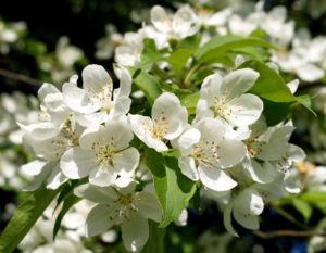 Sachalin Apfel Baum Bluete weiss Malus sachalinensis 08