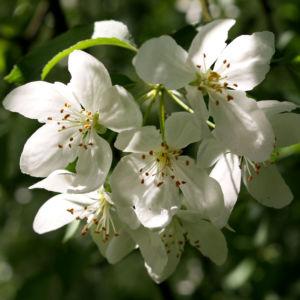Sachalin Apfel Baum Bluete weiss Malus sachalinensis 10