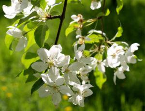 Bild: Sachalin Apfel Baum Bluete weiss Malus sachalinensis