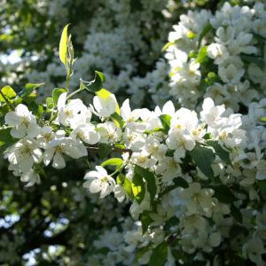 Sachalin Apfel Baum Bluete weiss Malus sachalinensis 13