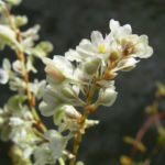 Sachalin Knoeterich Reynoutria sachalinensis 01