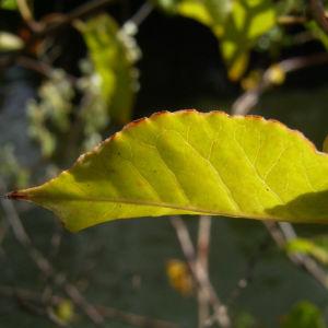 Bild: Sachalin Knoeterich Reynoutria sachalinensis