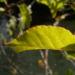 Zurück zum kompletten Bilderset Sachalin-Staudenknöterich Reynoutria sachalinensis