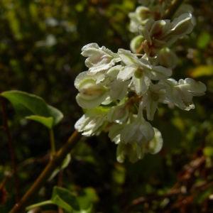 Sachalin Knoeterich Reynoutria sachalinensis 04