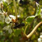 Sachalin Knoeterich Reynoutria sachalinensis 05