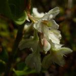 Sachalin Knoeterich Reynoutria sachalinensis 06
