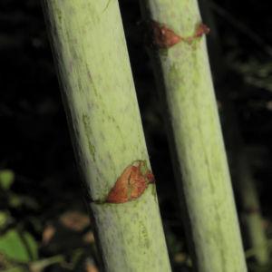 Sachalin Staudenknoeterich Staengel Blatt gruen Reynoutria sachalinensis 13
