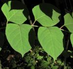 Sachalin Staudenknoeterich Staengel Blatt gruen Reynoutria sachalinensis 18