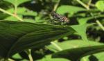 Sachalin Staudenknoeterich Staengel Blatt gruen Reynoutria sachalinensis 22