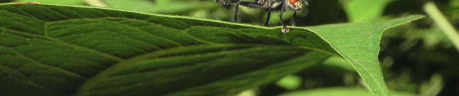 sachalin-staudenknoeterich-staengel-blatt-gruen-reynoutria-sachalinensis