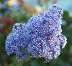 Bild: Saeckelblume Kalifornischer Flieder Strauch Bluetendolde hellblau Ceanothus delilianus