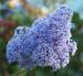 Zurück zum kompletten Bilderset Französische Hybrid-Säckelblume Strauch Blütendolde hellblau Ceanothus delilianus