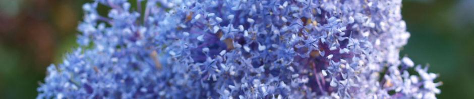 Anklicken um das ganze Bild zu sehen Französische Hybrid-Säckelblume Strauch Blütendolde hellblau Ceanothus delilianus