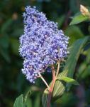 Saeckelblume Kalifornischer Flieder Strauch Bluetendolde hellblau Ceanothus delilianus 05