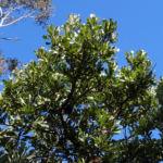 Saegen Banksie Alter Mann Banksie Blatt gruen Banksia serrata 611 3