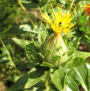 Bild: Saflor Faerberdistel Bluete orange Carthamus tinctorius