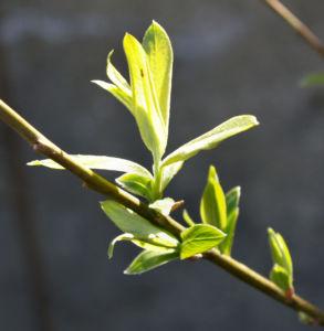 Sal Weide Palmkaetzchen hell gelb Salix caprea 03