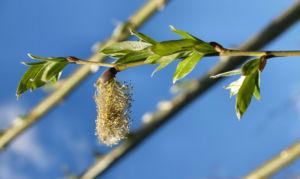 Sal Weide Palmkaetzchen hell gelb Salix caprea 07