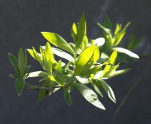 Sal Weide Palmkaetzchen hell gelb Salix caprea 09