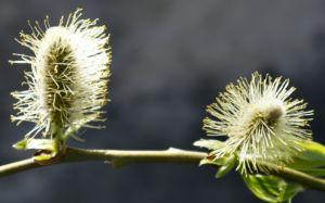 Sal Weide Palmkaetzchen hell gelb Salix caprea 11