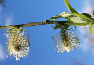 Sal Weide Palmkaetzchen hell gelb Salix caprea 12