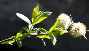 Sal Weide Palmkaetzchen hell gelb Salix caprea 13