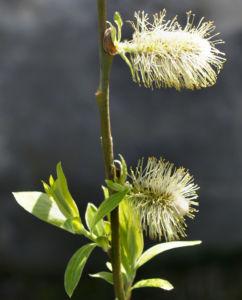 Sal Weide Palmkaetzchen hell gelb Salix caprea 16