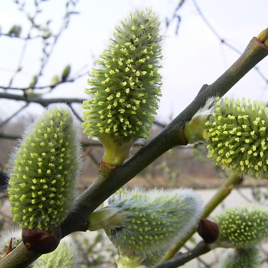 Sal Weide bluehend Salix caprea