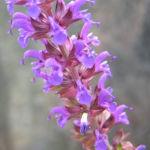 Salbei Bluete blau Salvia 02
