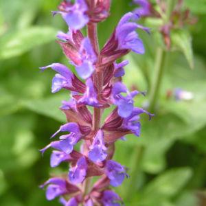 Salbei Bluete blau Salvia 05