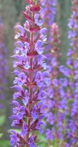 Salbei Bluete blau Salvia 06