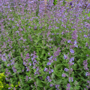 Salbei Bluete lila Salvia 01