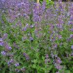 Salbei Bluete lila Salvia 02