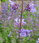 Salbei Bluete lila Salvia 03