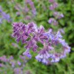 Salbei Bluete lila Salvia 05