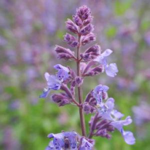 Salbei Bluete lila Salvia 06