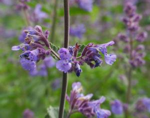 Salbei Bluete lila Salvia 07
