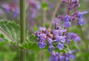 Salbei Bluete lila Salvia 08