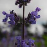 Bild: Salbei Blüte lila Salvia
