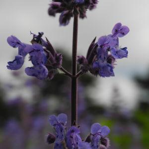 Salbei Blüte lila Salvia