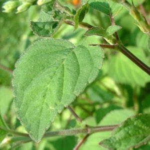 Salbei elegant Salvia elegans 02