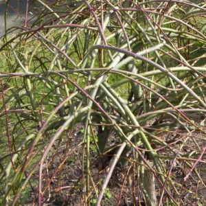Salweide Aeste Salix caprea 11